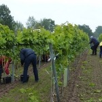 Weinlese für den Schleswig-Holstein-Wein in Grebin