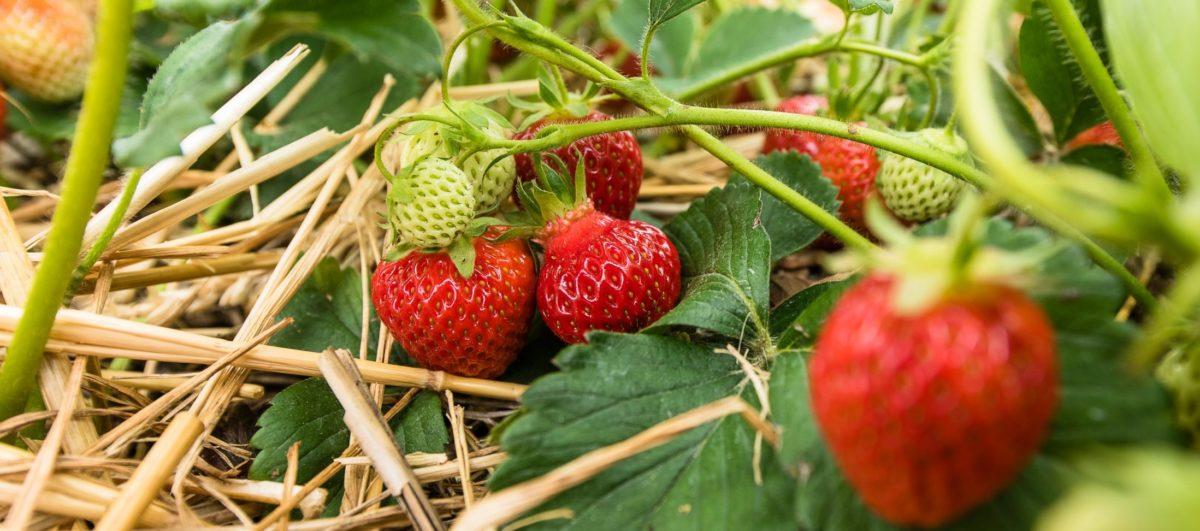 Filippos Erdbeeren aus Futterkamp